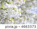 オオシマザクラ 大島桜 花の写真 4663373