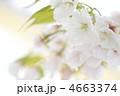 オオシマザクラ 大島桜 花の写真 4663374