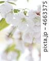 オオシマザクラ 大島桜 花の写真 4663375