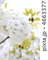 オオシマザクラ 大島桜 花の写真 4663377