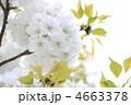 オオシマザクラ 大島桜 花の写真 4663378