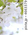 オオシマザクラ 大島桜 花の写真 4663379