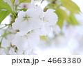 オオシマザクラ 大島桜 花の写真 4663380