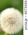 タンポポ 綿毛 わたげの写真 4673689