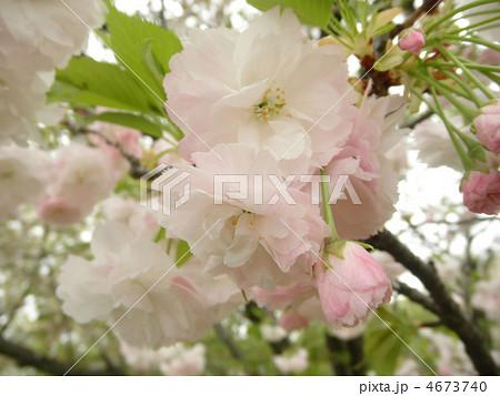 桜 松月(ショウゲツ) 花言葉:精神美  4673740