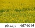 菜の花畑 4674046