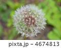 セイヨウタンポポ 種 綿毛の写真 4674813