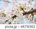 満開の桜~染井吉野ソメイヨシノ(バラ科) 4678362