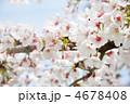 満開の桜~染井吉野ソメイヨシノ(バラ科) 4678408