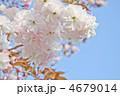 満開の優しい色の八重桜 普賢象 4679014