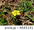 バラ科 多年草 蛇苺の写真 4683191