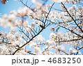 満開の桜とメジロ 4683250