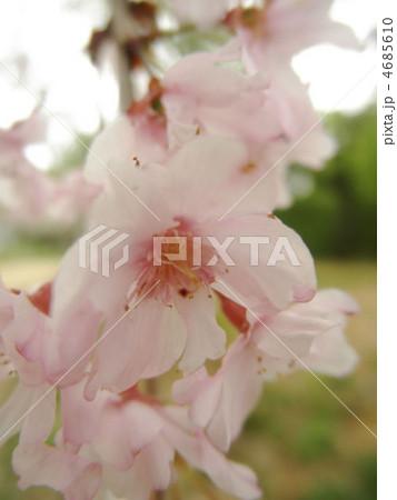 桜 八重紅枝垂(ヤエベニシダレ) 花言葉:優美 4685610