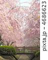 さくら 枝垂れ桜 春の花の写真 4686623