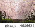 さくら 枝垂れ桜 春の花の写真 4686624