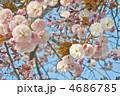 青空と優しい色の八重桜 普賢象 4686785