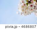 青空と染井吉野ソメイヨシノ(バラ科) 4686807