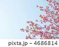 満開の桃色の八重桜 関山 4686814