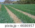 玉葱畑 4686957