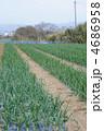 玉葱畑 4686958