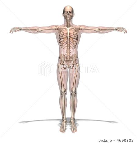 男性人体模型 4690305
