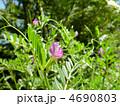 烏野豌豆 ヤハズノエンドウ カラスノエンドウの写真 4690803