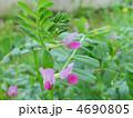 烏野豌豆 ヤハズノエンドウ カラスノエンドウの写真 4690805