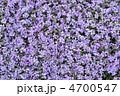 シバザクラ 花詰草 芝桜の写真 4700547