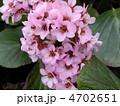 ヒマラヤユキノシタ ユキノシタ 花の写真 4702651