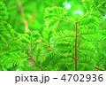 メタセコイヤ 若葉 新芽の写真 4702936