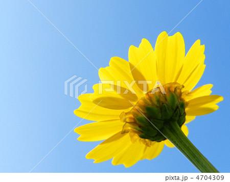 春菊の花(トウ立ち) 4704309