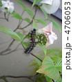毛虫・ブランコケムシ(マイマイガの幼虫) 4706053