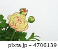 ラナンキュラス 花金鳳花 ハナキンポウゲの写真 4706139