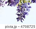 ふじ フジ 花の写真 4708725