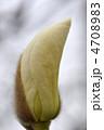 マグノリア 白木蓮 木蓮の写真 4708983