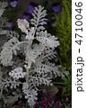 シロタエギク 白妙菊 ダスティーミラーの写真 4710046