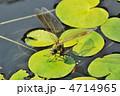 トンボ ギンヤンマ 産卵の写真 4714965