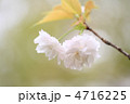 八重桜 ヤエザクラ 花の写真 4716225
