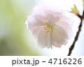 八重桜 ヤエザクラ 花の写真 4716226