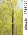 筍 たけのこ 竹の子の写真 4716912