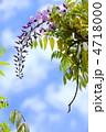 ふじ フジ 藤の花の写真 4718000