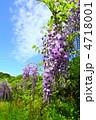 フジ ふじ 藤の花の写真 4718001