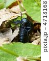 ツチハンミョウ ヒメツチハンミョウ 虫の写真 4718168