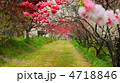 花桃トンネル 4718846