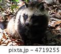 哺乳動物 たぬき 動物の写真 4719255