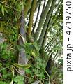竹の子 たけのこ タケノコの写真 4719750