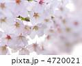 桜① 4720021