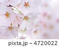 桜② 4720022