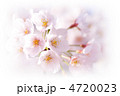 桜③ 4720023