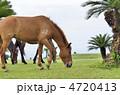 都井岬の野生馬 4720413